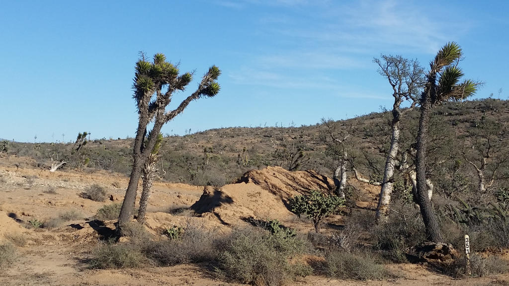 The desert was full of the coolest, weirdest trees.